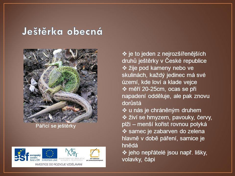 Pářící se ještěrky  je to jeden z nejrozšířenějších druhů ještěrky v České republice  žije pod kameny nebo ve skulinách, každý jedinec má své území, kde loví a klade vejce  měří 20-25cm, ocas se při napadení odděluje, ale pak znovu dorůstá  u nás je chráněným druhem  živí se hmyzem, pavouky, červy, plži – menší kořist rovnou polyká  samec je zabarven do zelena hlavně v době páření, samice je hnědá  jeho nepřátelé jsou např.