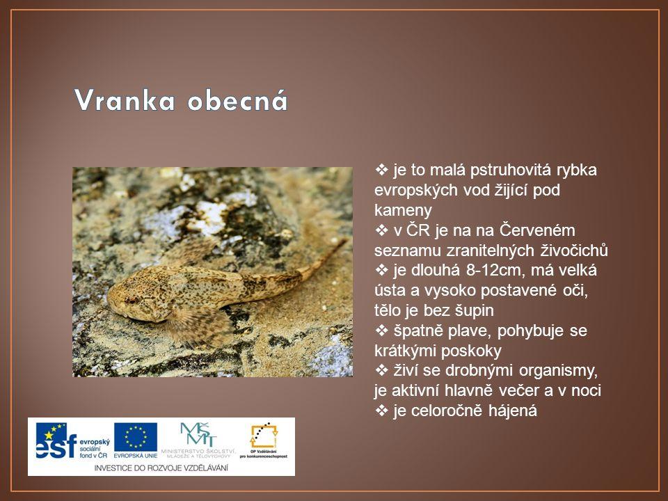  je to malá pstruhovitá rybka evropských vod žijící pod kameny  v ČR je na na Červeném seznamu zranitelných živočichů  je dlouhá 8-12cm, má velká ústa a vysoko postavené oči, tělo je bez šupin  špatně plave, pohybuje se krátkými poskoky  živí se drobnými organismy, je aktivní hlavně večer a v noci  je celoročně hájená