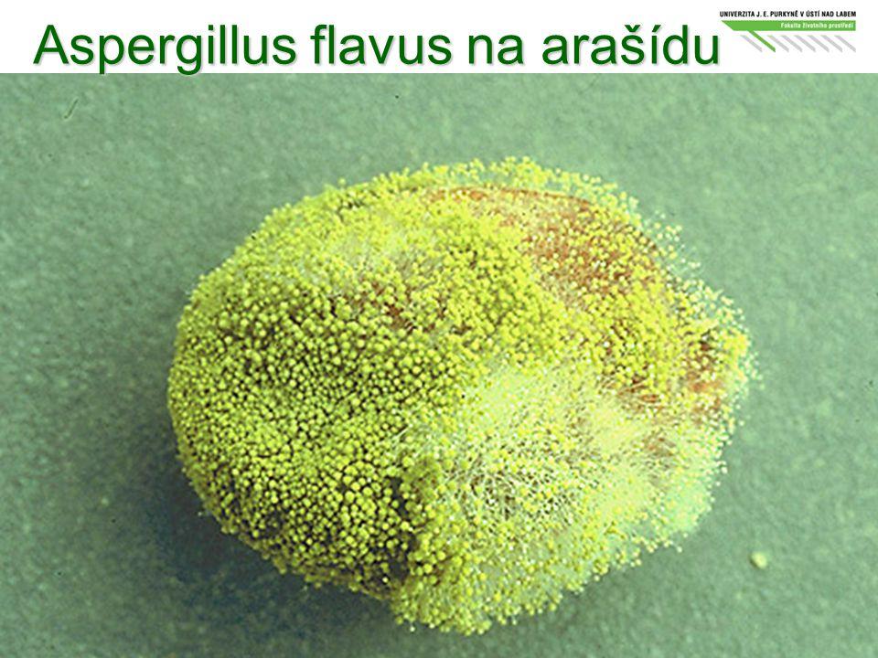Aspergillus flavus na arašídu