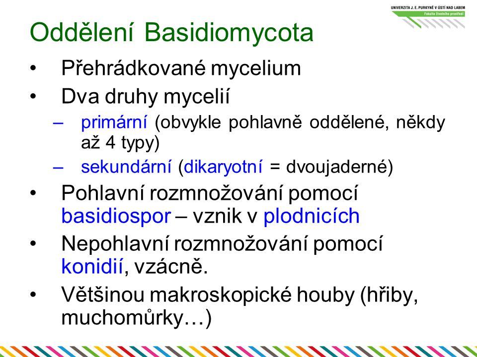 Oddělení Basidiomycota Přehrádkované mycelium Dva druhy mycelií –primární (obvykle pohlavně oddělené, někdy až 4 typy) –sekundární (dikaryotní = dvouj