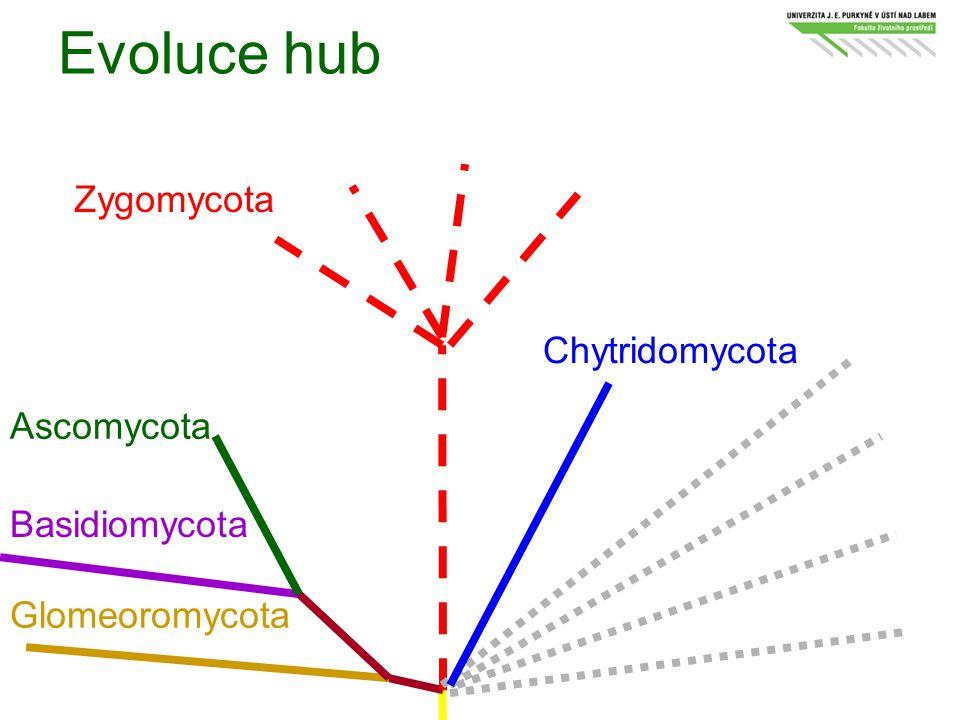 Evoluce hub Glomeoromycota Basidiomycota Ascomycota Zygomycota Chytridomycota