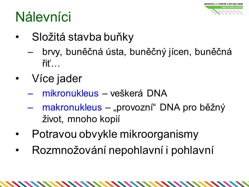 """Nálevníci Složitá stavba buňky –brvy, buněčná ústa, buněčný jícen, buněčná řiť… Více jader –mikronukleus – veškerá DNA –makronukleus – """"provozní"""" DNA"""