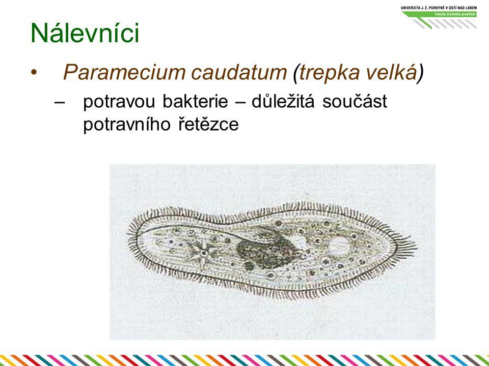 Nálevníci Paramecium caudatum (trepka velká) –potravou bakterie – důležitá součást potravního řetězce