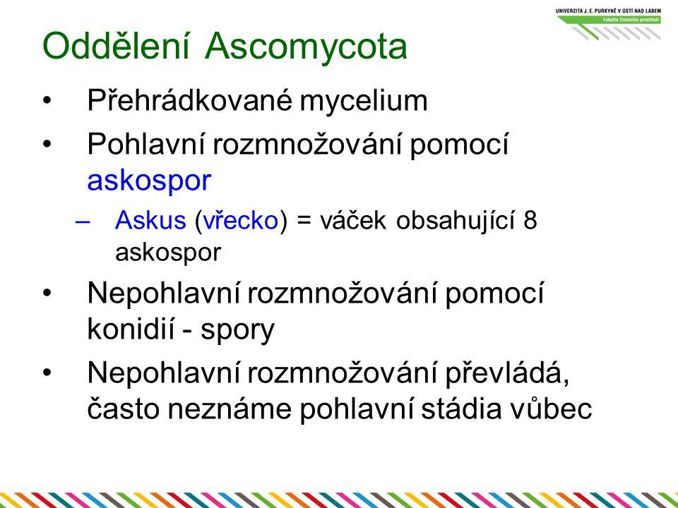 Oddělení Ascomycota Přehrádkované mycelium Pohlavní rozmnožování pomocí askospor –Askus (vřecko) = váček obsahující 8 askospor Nepohlavní rozmnožování