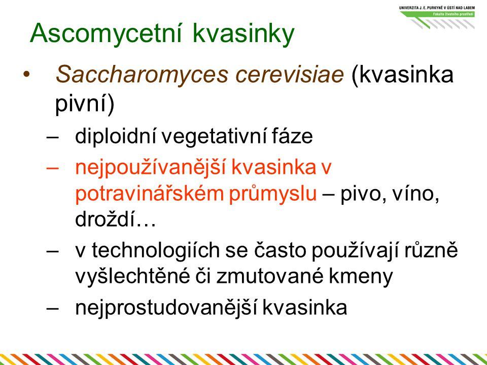 Ascomycetní kvasinky Saccharomyces cerevisiae (kvasinka pivní) –diploidní vegetativní fáze –nejpoužívanější kvasinka v potravinářském průmyslu – pivo,