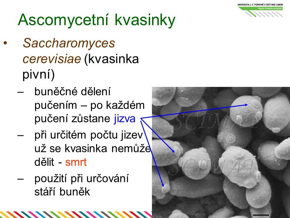 Ascomycetní kvasinky Saccharomyces cerevisiae (kvasinka pivní) –buněčné dělení pučením – po každém pučení zůstane jizva –při určitém počtu jizev už se