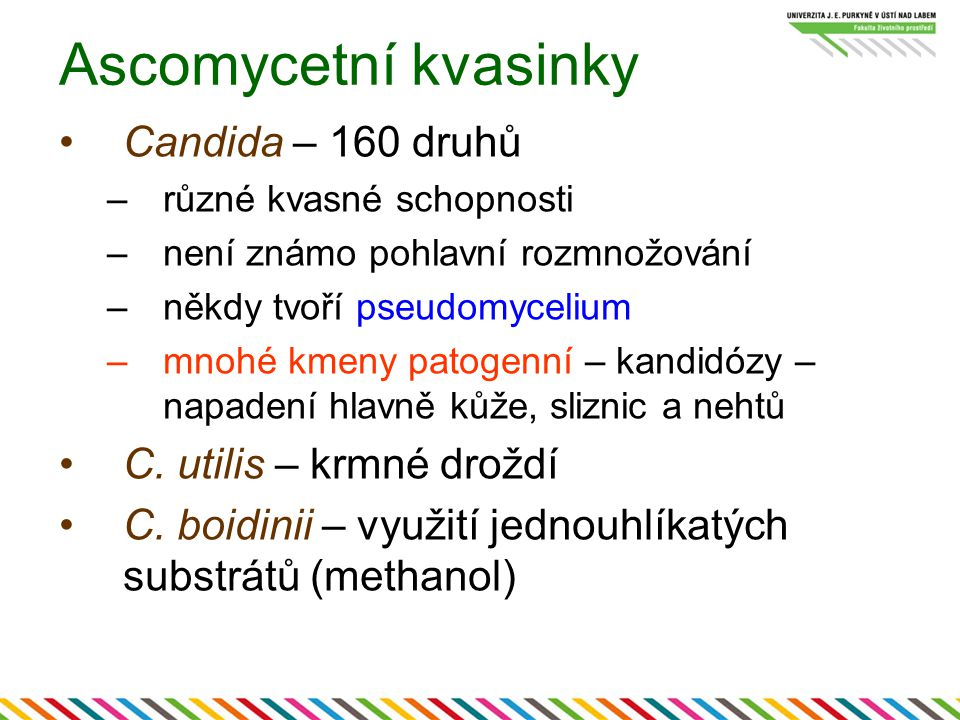 Ascomycetní kvasinky Candida – 160 druhů –různé kvasné schopnosti –není známo pohlavní rozmnožování –někdy tvoří pseudomycelium –mnohé kmeny patogenní