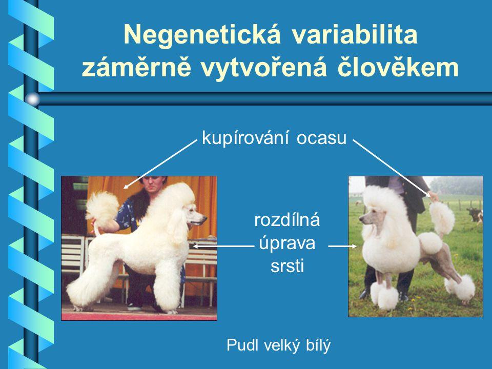 Negenetická variabilita záměrně vytvořená člověkem kupírování ocasu rozdílná úprava srsti Pudl velký bílý