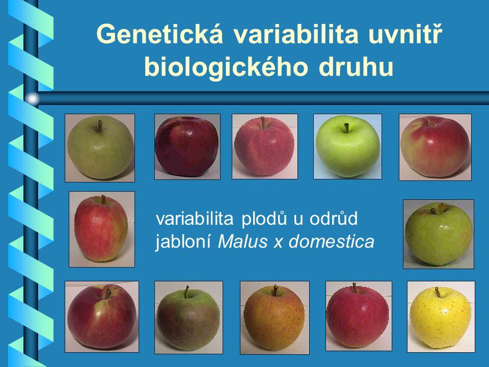 Genetická variabilita uvnitř biologického druhu variabilita plodů u odrůd jabloní Malus x domestica