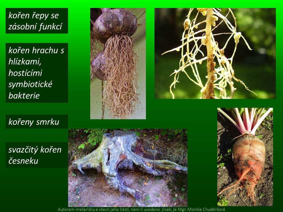kořen řepy se zásobní funkcí kořen hrachu s hlízkami, hostícími symbiotické bakterie svazčitý kořen česneku kořeny smrku Autorem materiálu a všech jeh