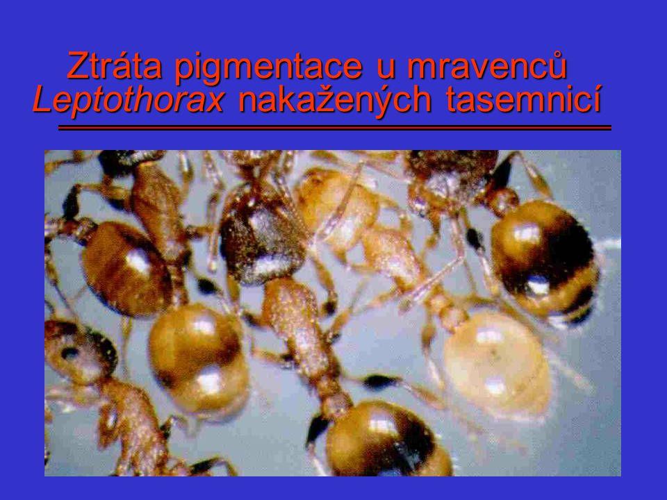 Ztráta pigmentace u mravenců Leptothorax nakažených tasemnicí