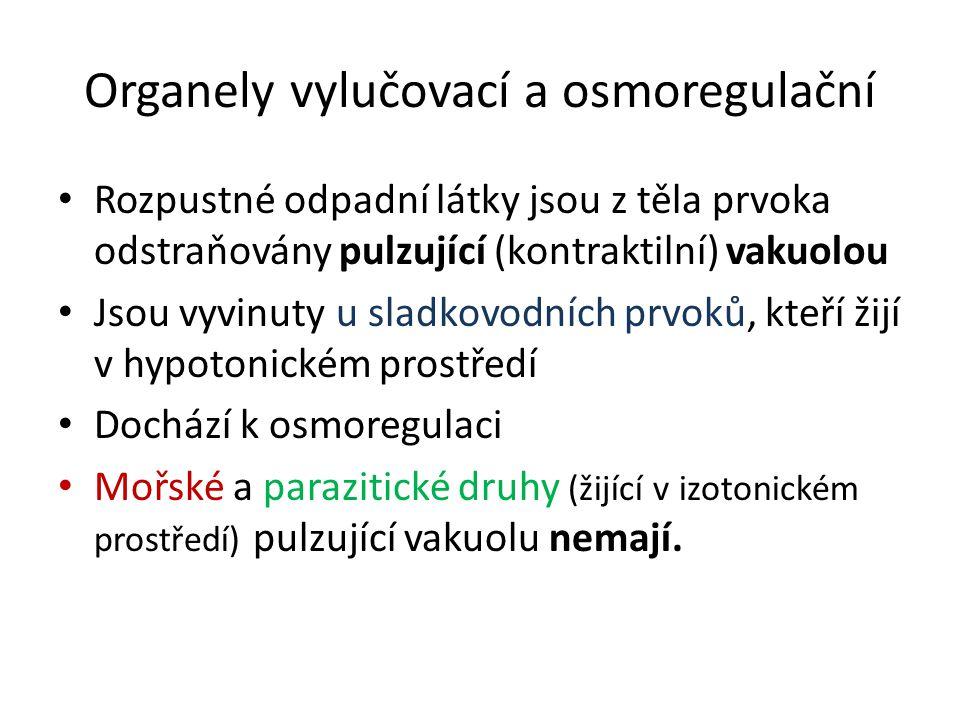 Organely vylučovací a osmoregulační Rozpustné odpadní látky jsou z těla prvoka odstraňovány pulzující (kontraktilní) vakuolou Jsou vyvinuty u sladkovodních prvoků, kteří žijí v hypotonickém prostředí Dochází k osmoregulaci Mořské a parazitické druhy (žijící v izotonickém prostředí) pulzující vakuolu nemají.