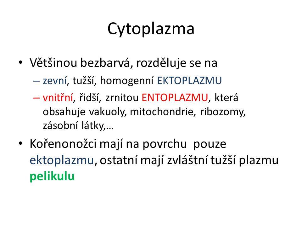 Cytoplazma Většinou bezbarvá, rozděluje se na – zevní, tužší, homogenní EKTOPLAZMU – vnitřní, řidší, zrnitou ENTOPLAZMU, která obsahuje vakuoly, mitochondrie, ribozomy, zásobní látky,… Kořenonožci mají na povrchu pouze ektoplazmu, ostatní mají zvláštní tužší plazmu pelikulu