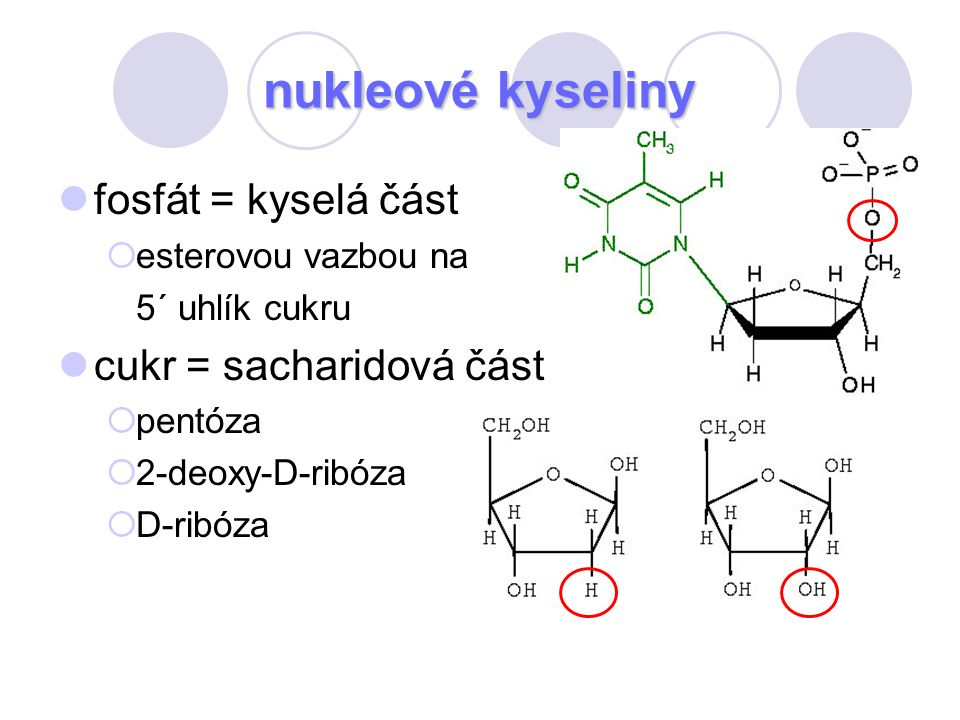 fosfát = kyselá část  esterovou vazbou na 5´ uhlík cukru cukr = sacharidová část  pentóza  2-deoxy-D-ribóza  D-ribóza
