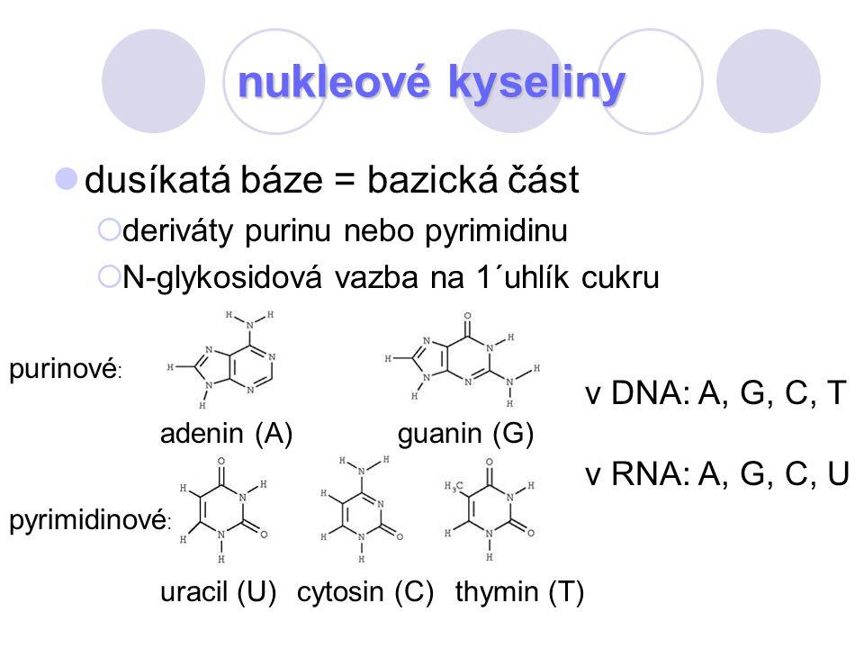 nukleové kyseliny dusíkatá báze = bazická část  deriváty purinu nebo pyrimidinu  N-glykosidová vazba na 1´uhlík cukru adenin (A)guanin (G) cytosin (