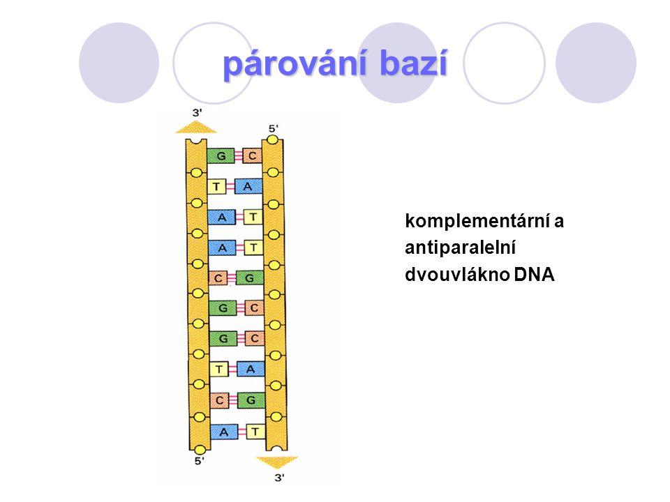 komplementární a antiparalelní dvouvlákno DNA