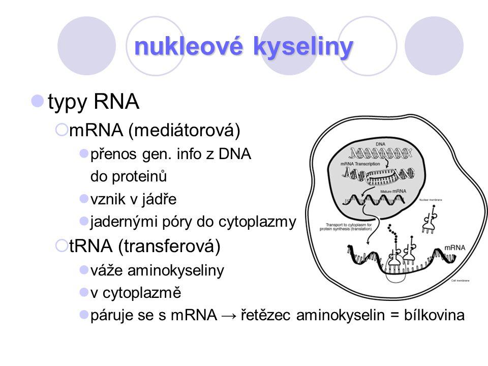 nukleové kyseliny typy RNA  mRNA (mediátorová) přenos gen. info z DNA do proteinů vznik v jádře jadernými póry do cytoplazmy  tRNA (transferová) váž