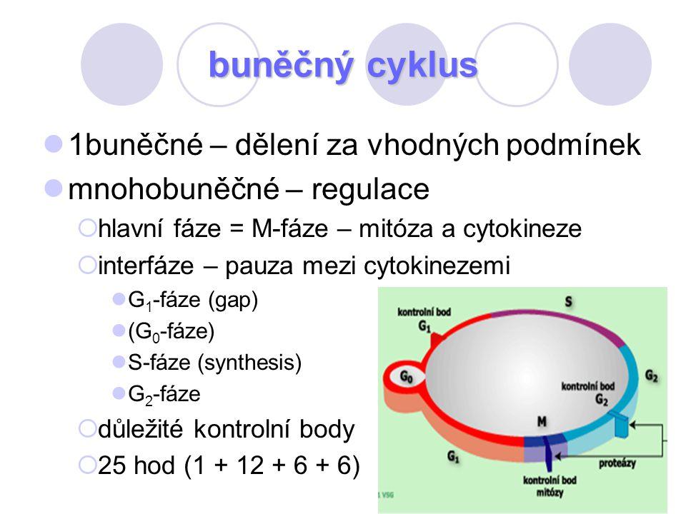 68 buněčný cyklus 1buněčné – dělení za vhodných podmínek mnohobuněčné – regulace  hlavní fáze = M-fáze – mitóza a cytokineze  interfáze – pauza mezi
