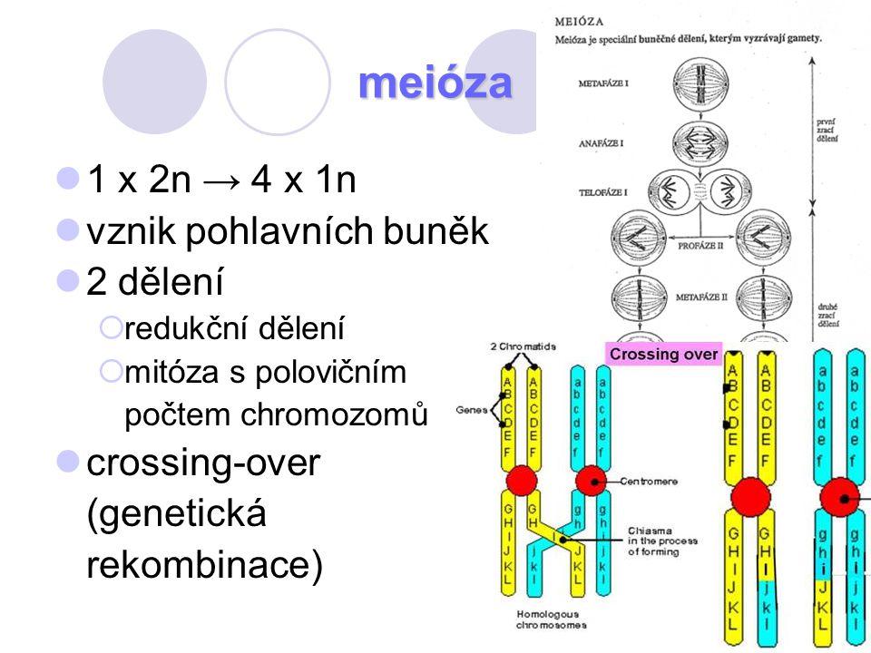 76 meióza 1 x 2n → 4 x 1n vznik pohlavních buněk 2 dělení  redukční dělení  mitóza s polovičním počtem chromozomů crossing-over (genetická rekombina