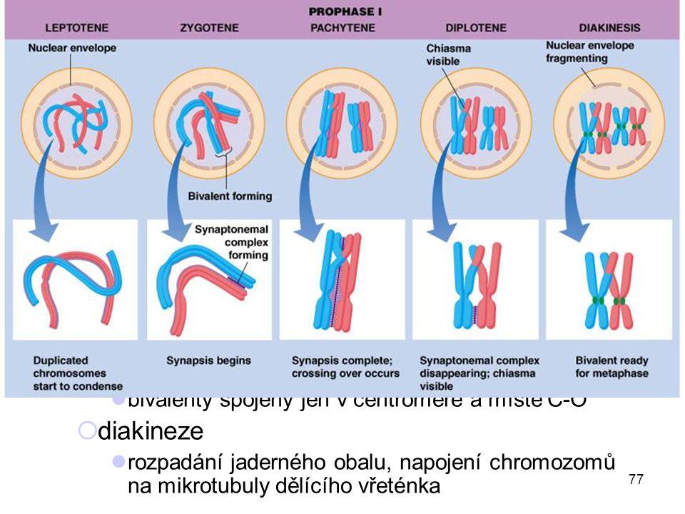 77 první meiotické dělení (redukční) profáze  až 90 % 1. meiotického dělení  leptotene kondenzace DNA  zygotene párování homologních chromozomů → b