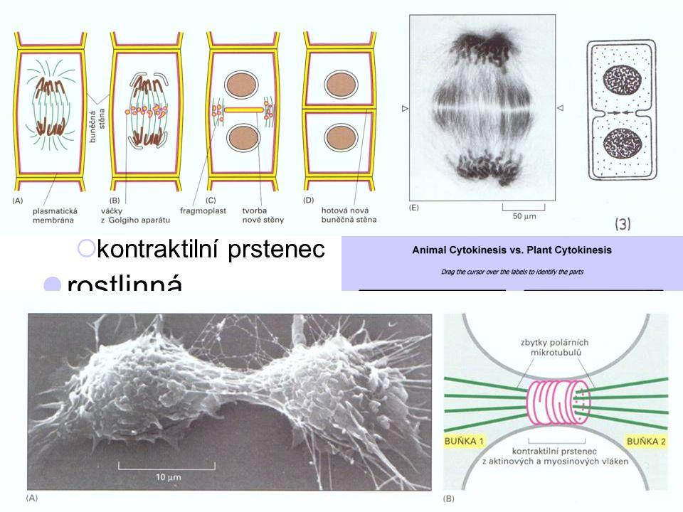 81 cytokineze = dělení buňky živočišná  zaškrcení  kontraktilní prstenec rostlinná  vytvoření přepážky  fragmoplast invaginace PM