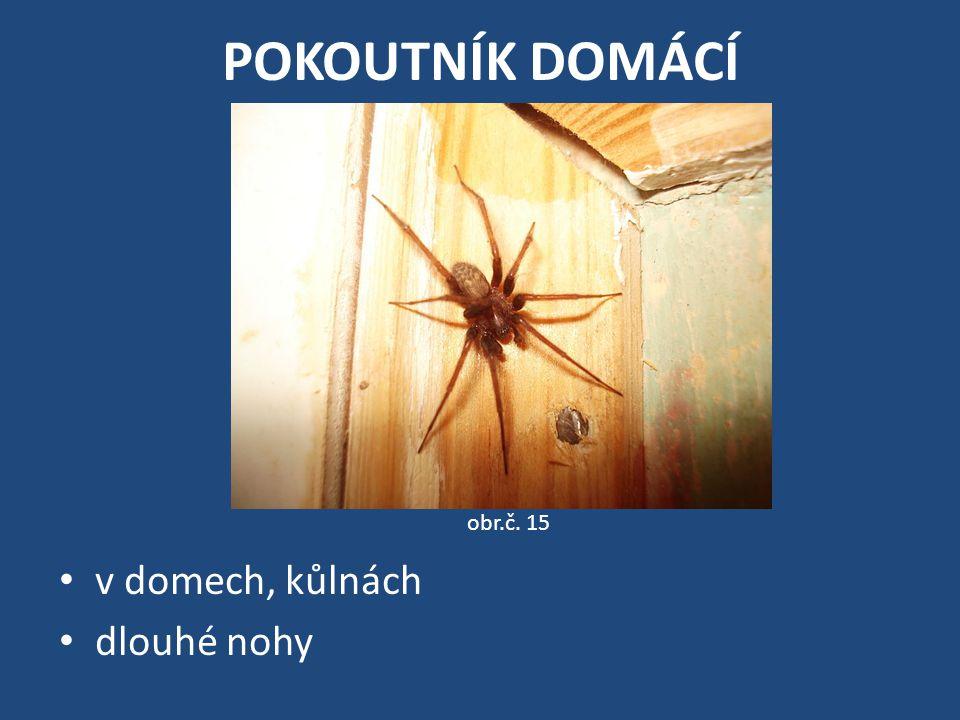 POKOUTNÍK DOMÁCÍ v domech, kůlnách dlouhé nohy obr.č. 15