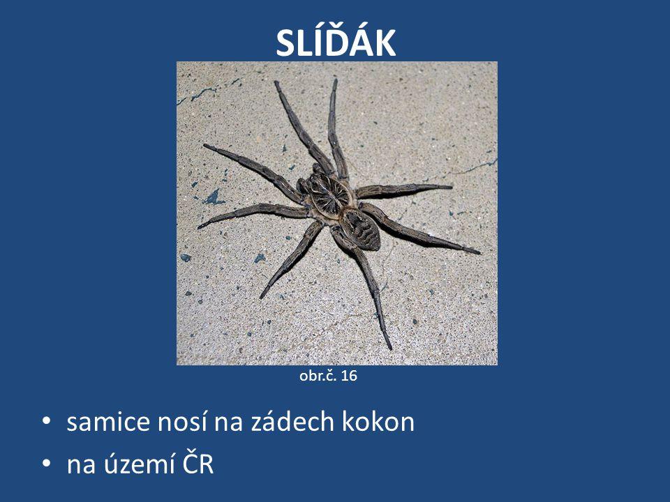 SLÍĎÁK samice nosí na zádech kokon na území ČR obr.č. 16