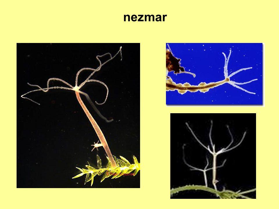 větevník a korál červený http://commons.wikimedia.org/wiki/File:Acropora.JPG schránky se používají ve šperkařství