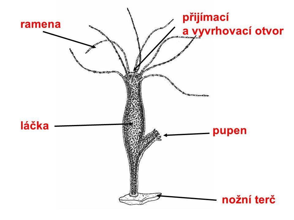 Nezmar obecný Výskyt: ve vodě Stavba těla: válcovité tělo, ze dvou vrstev buněk nožní terč – přichycení k podkladu přijímací otvor je zároveň otvorem vyvrhovacím ramena se žahavými buňkami láčka – trávicí dutina