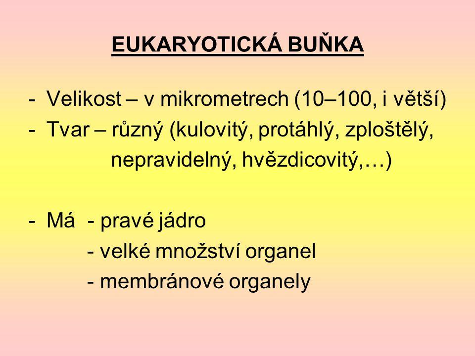 EUKARYOTICKÁ BUŇKA -Velikost – v mikrometrech (10–100, i větší) -Tvar – různý (kulovitý, protáhlý, zploštělý, nepravidelný, hvězdicovitý,…) -Má - pravé jádro - velké množství organel - membránové organely