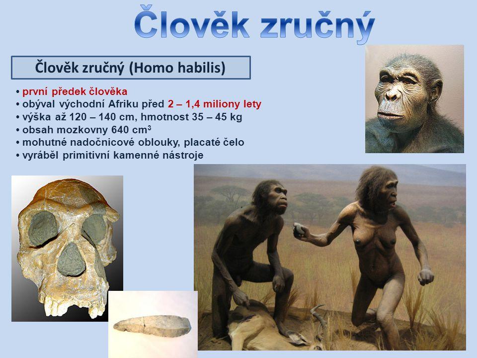 Člověk zručný (Homo habilis) první předek člověka obýval východní Afriku před 2 – 1,4 miliony lety výška až 120 – 140 cm, hmotnost 35 – 45 kg obsah mozkovny 640 cm 3 mohutné nadočnicové oblouky, placaté čelo vyráběl primitivní kamenné nástroje