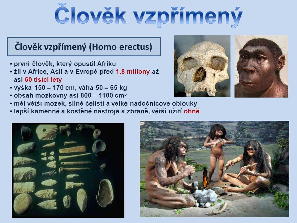 Člověk vzpřímený (Homo erectus) první člověk, který opustil Afriku žil v Africe, Asii a v Evropě před 1,8 miliony až asi 60 tisíci lety výška 150 – 170 cm, váha 50 – 65 kg obsah mozkovny asi 800 – 1100 cm 3 měl větší mozek, silné čelisti a velké nadočnicové oblouky lepší kamenné a kostěné nástroje a zbraně, větší užití ohně