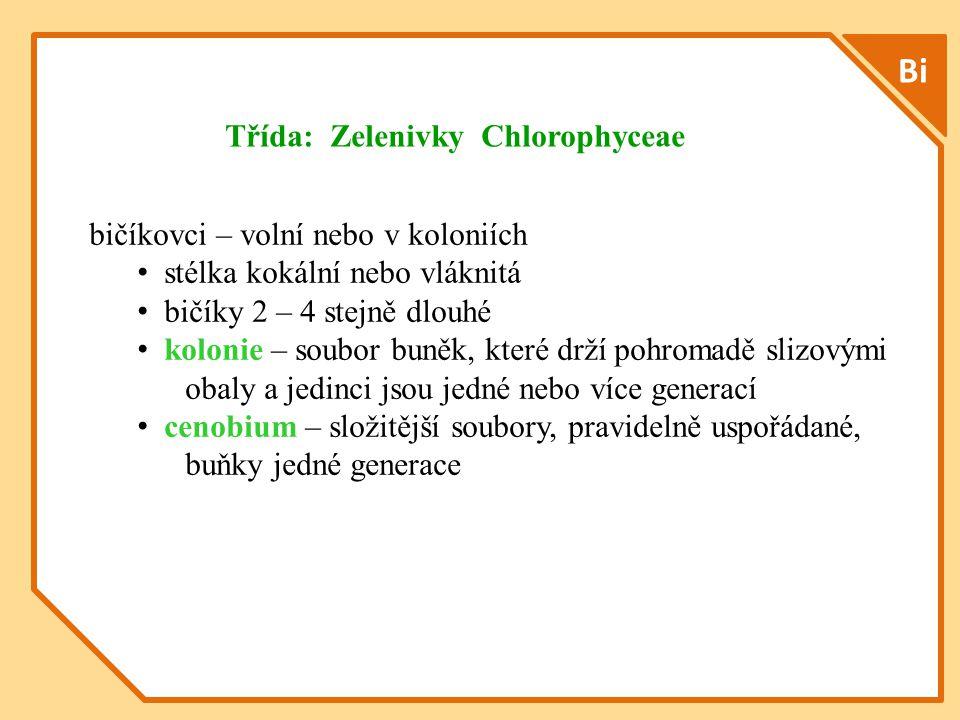 Bi bičíkovci – volní nebo v koloniích stélka kokální nebo vláknitá bičíky 2 – 4 stejně dlouhé kolonie – soubor buněk, které drží pohromadě slizovými obaly a jedinci jsou jedné nebo více generací cenobium – složitější soubory, pravidelně uspořádané, buňky jedné generace Třída: Zelenivky Chlorophyceae