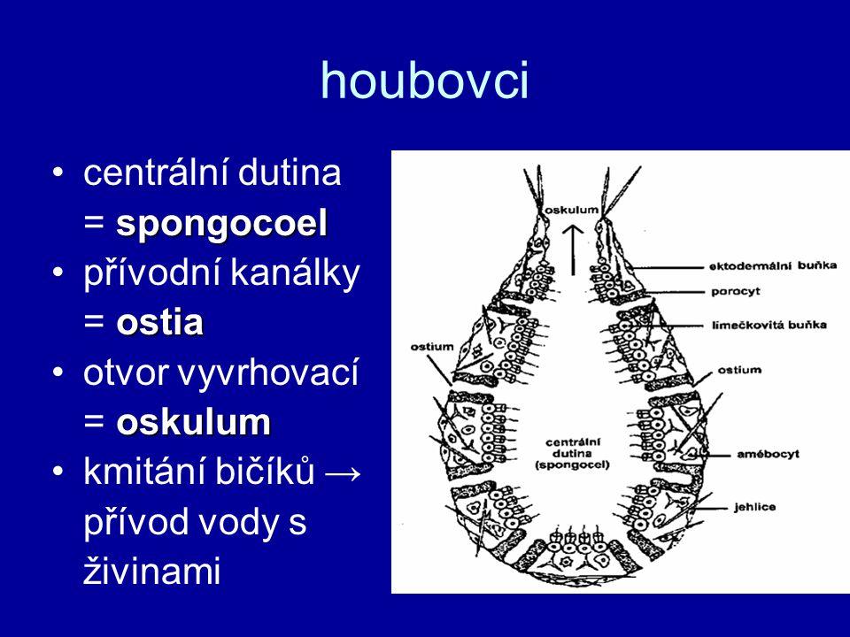 houbovci centrální dutina spongocoel = spongocoel přívodní kanálky ostia = ostia otvor vyvrhovací oskulum = oskulum kmitání bičíků → přívod vody s živ