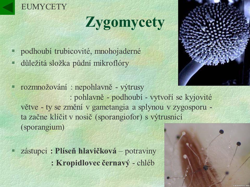 Zygomycety §podhoubí trubicovité, mnohojaderné §důležitá složka půdní mikroflóry §rozmnožování : nepohlavně - výtrusy : pohlavně - podhoubí - vytvoří se kyjovité větve - ty se změní v gametangia a splynou v zygosporu - ta začne klíčit v nosič (sporangiofor) s výtrusnicí (sporangium) §zástupci : Plíseň hlavičková – potraviny : Kropidlovec černavý - chléb EUMYCETY