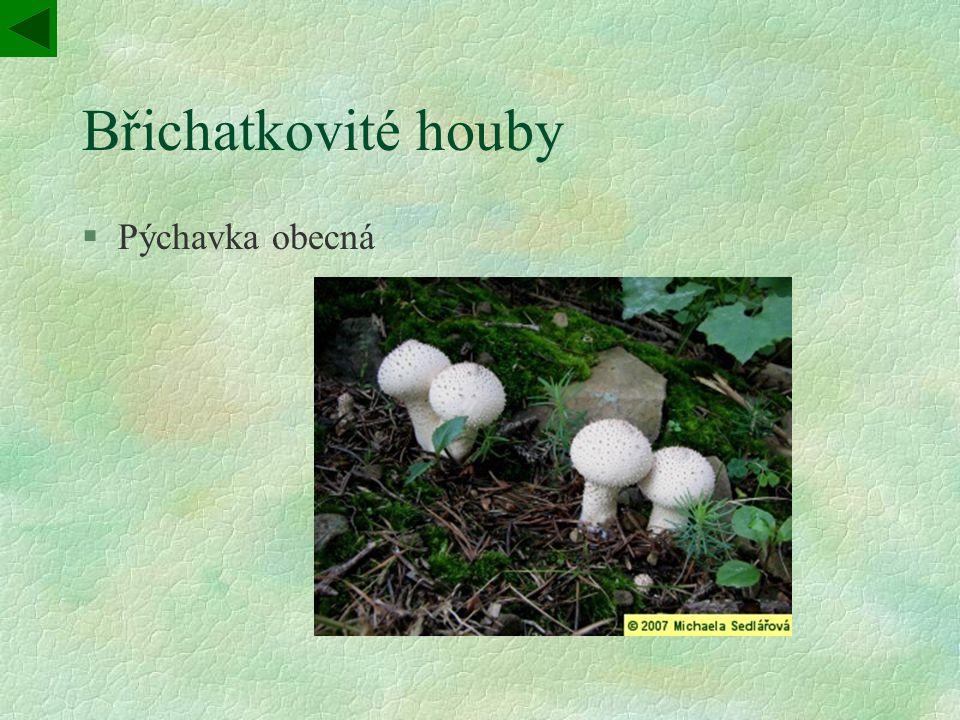 Břichatkovité houby §Pýchavka obecná