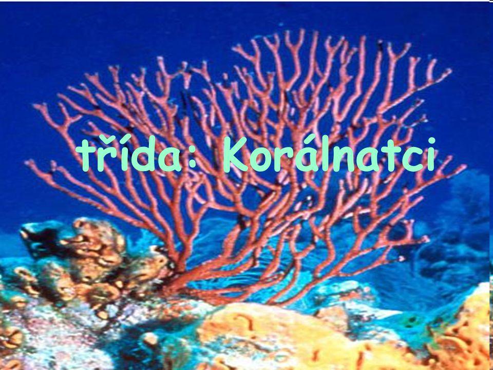-5000 druhů, jen v teplých mořích -jen stadium polypa- přisedlí -gonochoristé, pučení -s vyjimkou sasanek vytvářejí endoskelet v mezoglee (jehlice z rohovitého koralinu či CaCO 3 a exoskelet z téže hmoty, ale tvořené endodermem - známi od prvohor Geol.