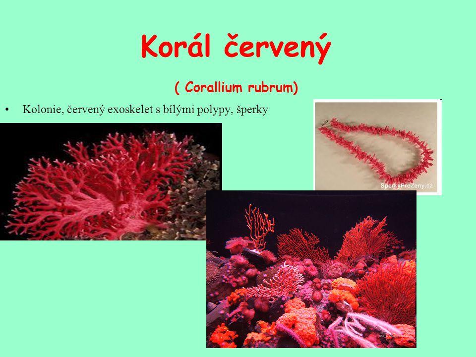 Korál červený ( Corallium rubrum) Kolonie, červený exoskelet s bílými polypy, šperky