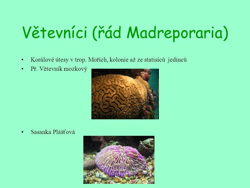 Větevníci (řád Madreporaria) Korálové útesy v trop. Mořích, kolonie až ze statisíců jedinců Př. Větevník mozkový Sasanka Plášťová