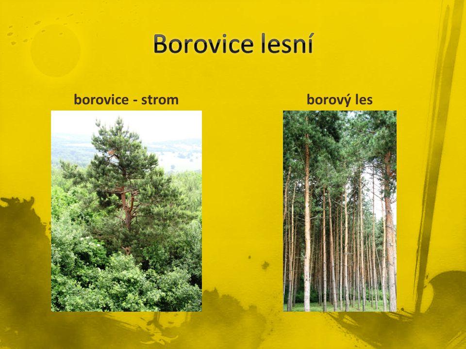 borovice - stromborový les