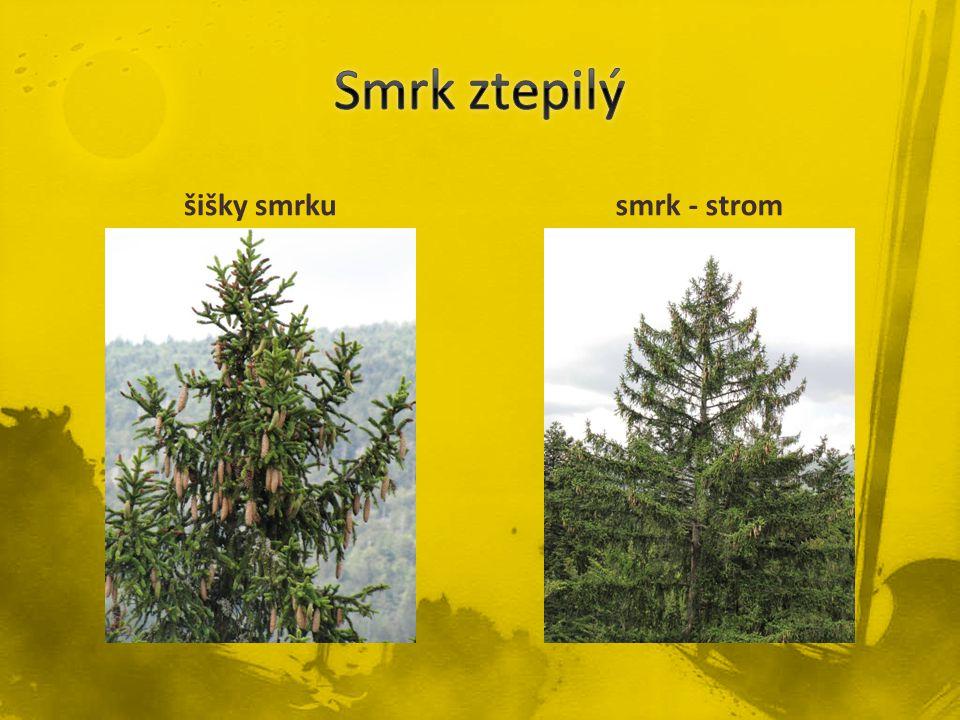 šišky smrkusmrk - strom