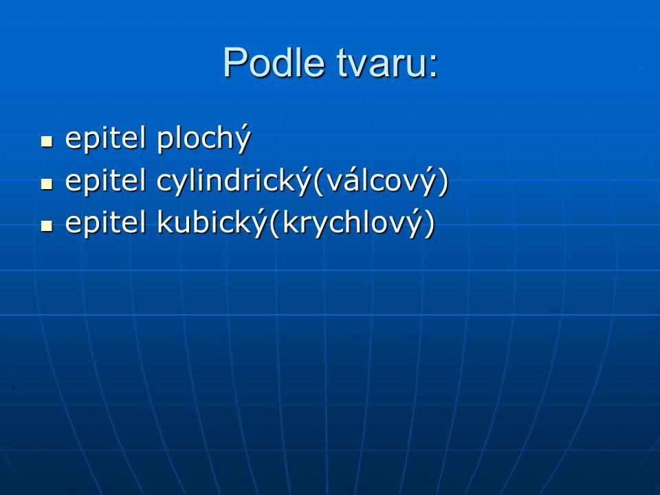 Podle tvaru: epitel plochý epitel plochý epitel cylindrický(válcový) epitel cylindrický(válcový) epitel kubický(krychlový) epitel kubický(krychlový)