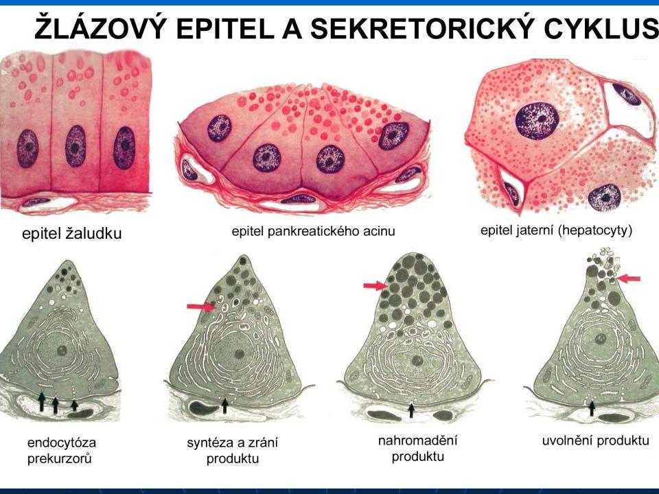 Chrupavka Bezcévná podpůrná tkáň, vzniká z mezodermu.