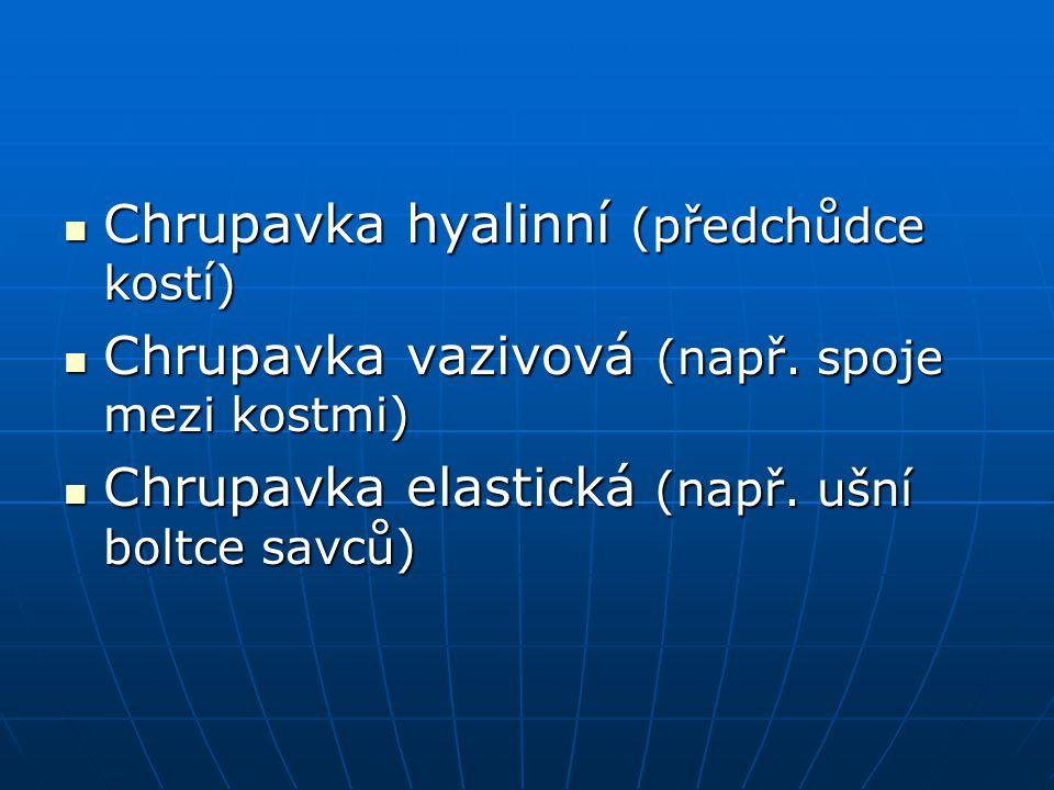 Chrupavka hyalinní (předchůdce kostí) Chrupavka hyalinní (předchůdce kostí) Chrupavka vazivová (např. spoje mezi kostmi) Chrupavka vazivová (např. spo