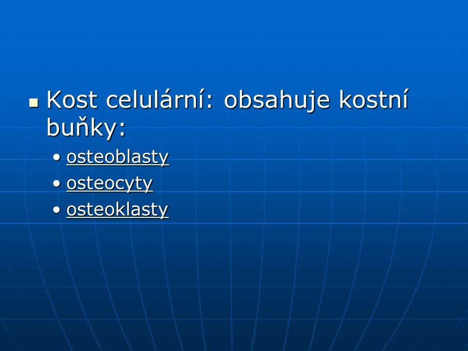 V případě zlomeniny se osteocyty znovu aktivují do podoby tzv.