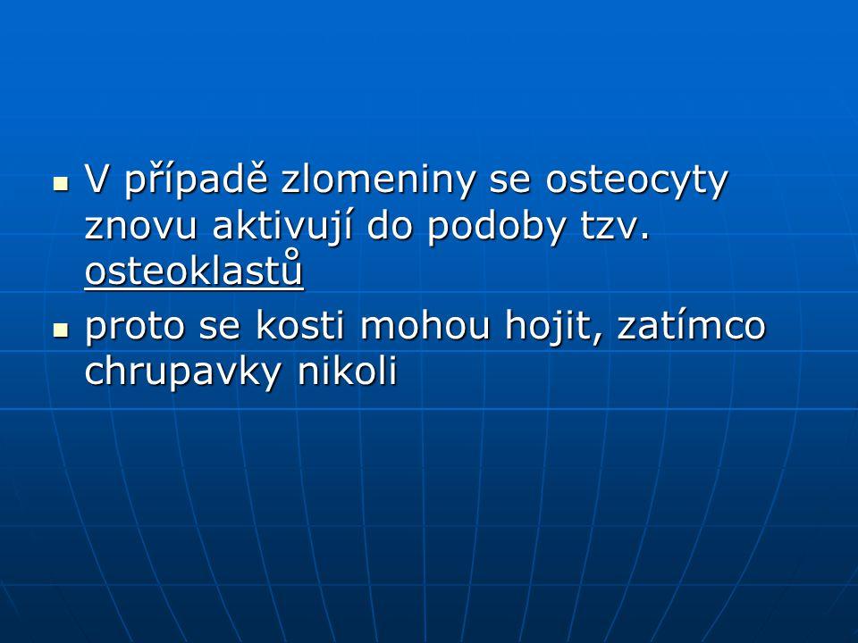 V případě zlomeniny se osteocyty znovu aktivují do podoby tzv. osteoklastů V případě zlomeniny se osteocyty znovu aktivují do podoby tzv. osteoklastů