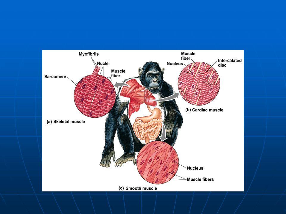 Vzniká z ektodermu Vzniká z ektodermu dendrity - vedou akční potenciály dovnitř buňky (dendros = strom) dendrity - vedou akční potenciály dovnitř buňky (dendros = strom) axon - vede akční potenciály z buňky ven axon - vede akční potenciály z buňky ven synapse - místo, kde se setkávají dvě nervové buňky synapse - místo, kde se setkávají dvě nervové buňky neurosvalová ploténka - nervová zakončení v příčně pruhovaných svalech neurosvalová ploténka - nervová zakončení v příčně pruhovaných svalech