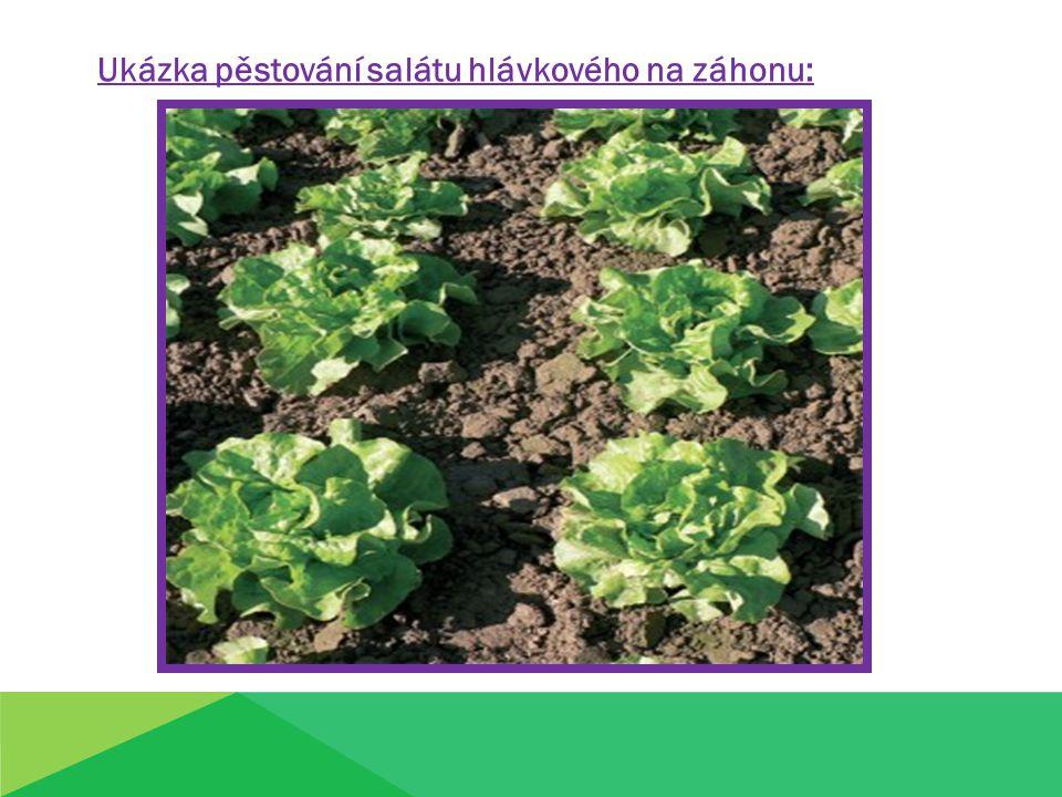 Ukázka pěstování salátu hlávkového na záhonu: