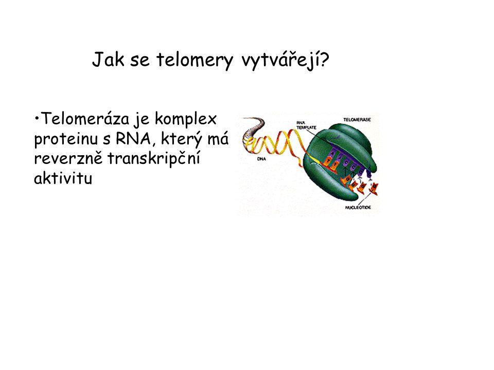 Telomeráza si tudíž ve formě RNA sebou nosí svůj templát