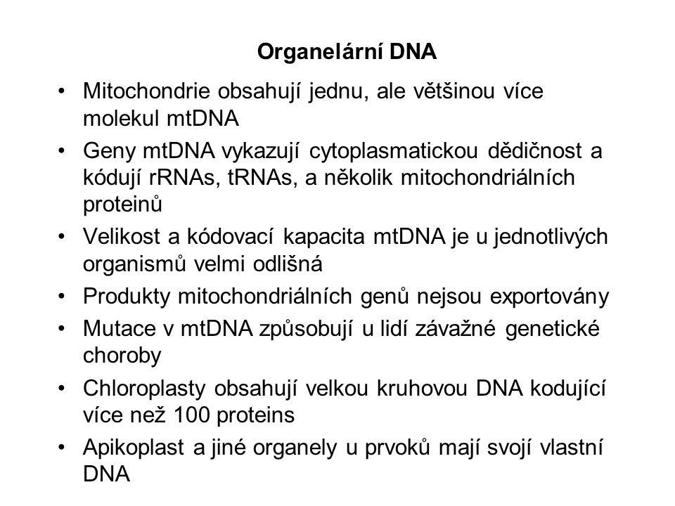 Lidská mtDNA